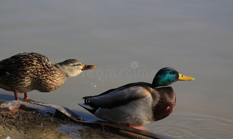 野鸭鸭子夫妇 免版税库存照片