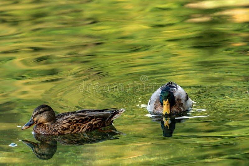 野鸭鸭子游泳夫妇在一个绿色湖 库存图片