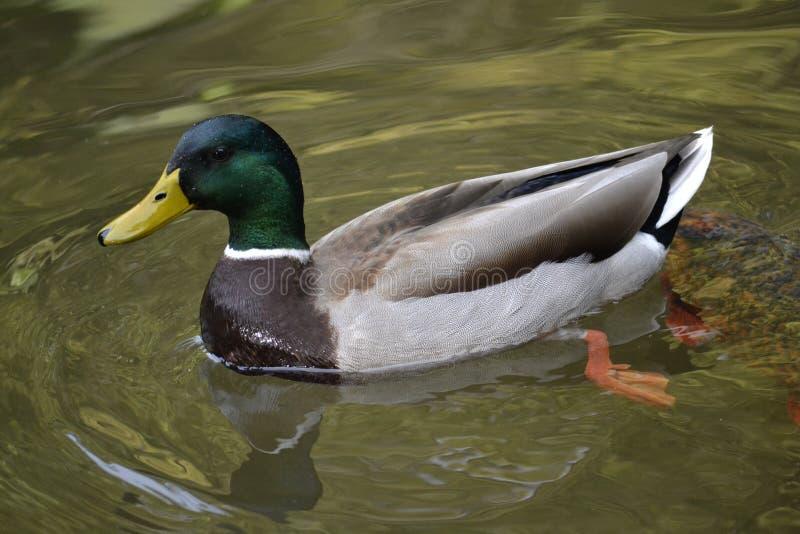 野鸭鸭子游泳 库存图片