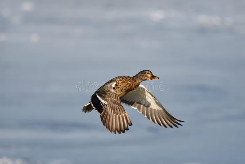 野鸭鸭子美妙地上色了鸟在飞行中在波兰天空 库存照片