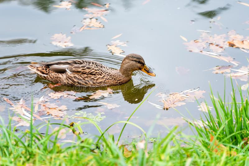 野鸭鸭子,语录platyrhynchus,在秋天湖 免版税库存图片