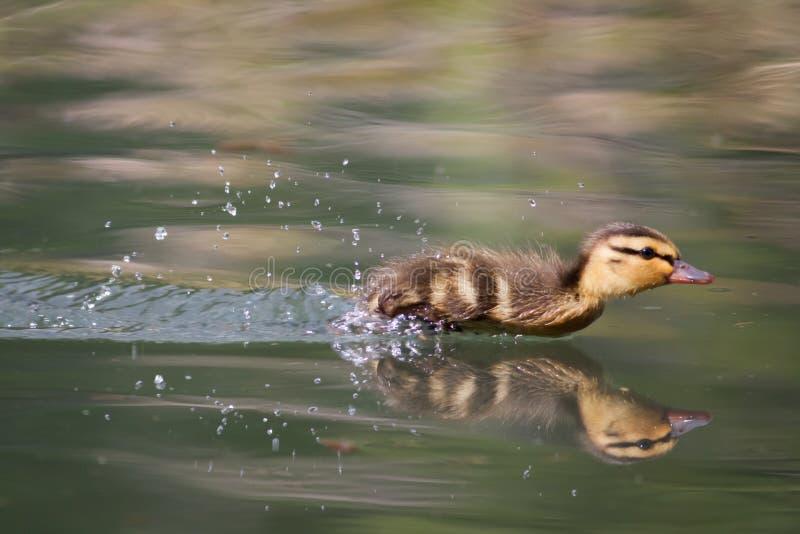 野鸭鸭子 免版税库存照片