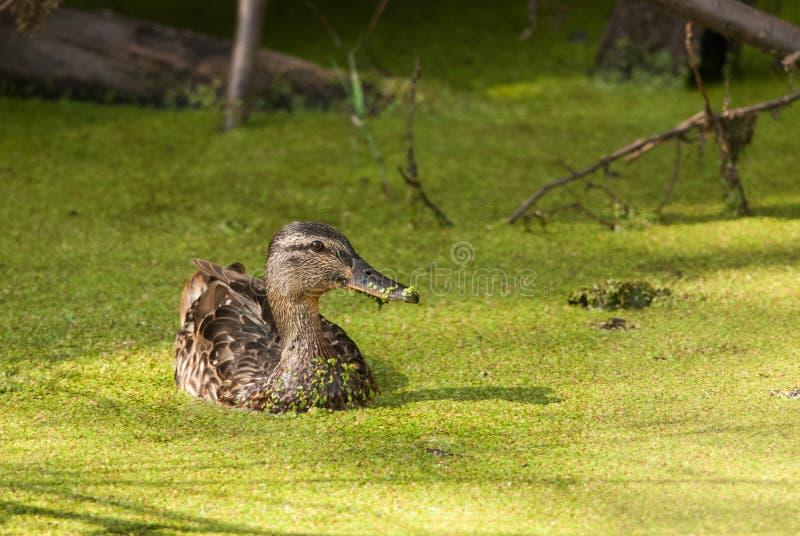 野鸭以绿色 免版税图库摄影