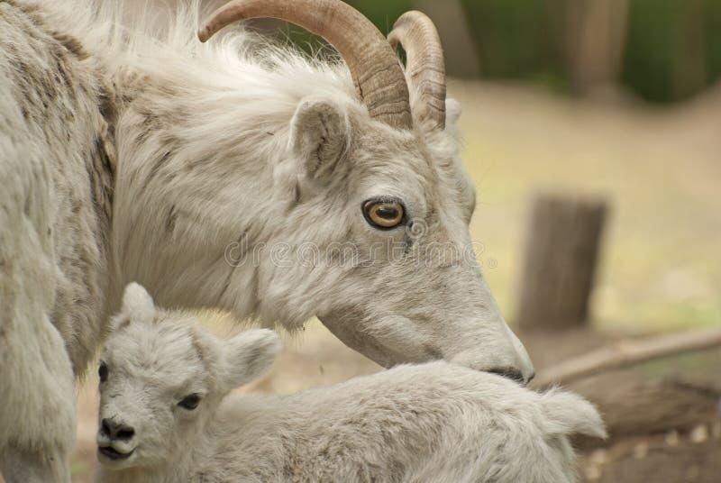 野绵羊 免版税图库摄影