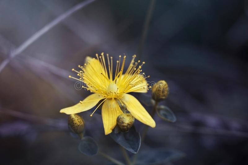 金丝桃属植物,tutsan,在一个紫色背景特写镜头的圣约翰价值 明亮的美丽的黄色花在草甸 免版税库存照片