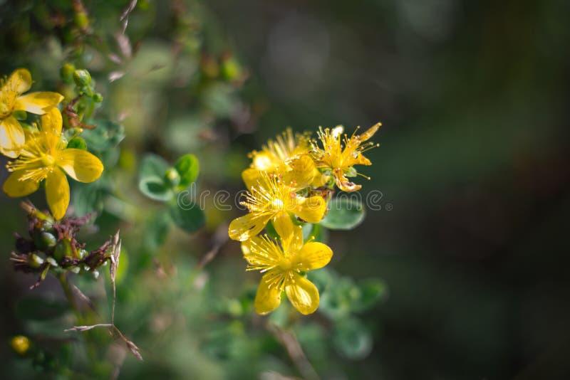 金丝桃属植物,tutsan,在一个绿色背景特写镜头的圣约翰价值 明亮的美丽的黄色花在草甸 ?? 图库摄影