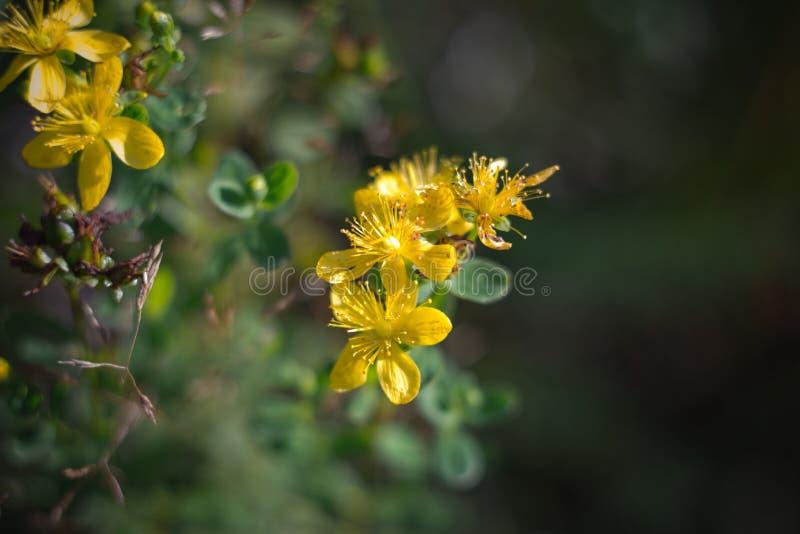 金丝桃属植物,tutsan,在绿色背景关闭的圣约翰价值 明亮的美丽的黄色花在草甸 免版税库存图片