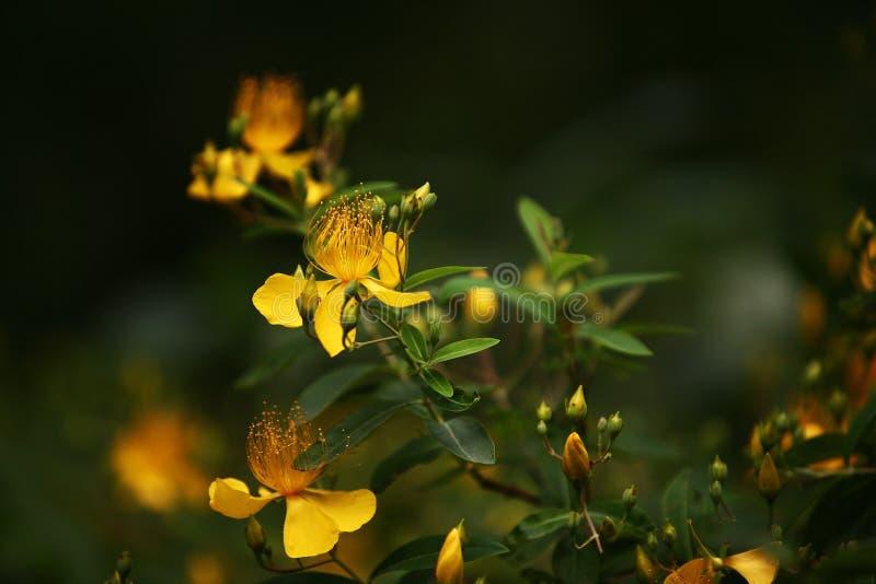 金丝桃属植物 库存图片