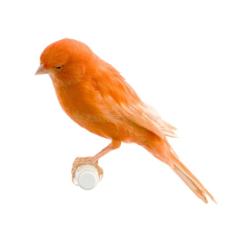 金丝雀其栖息处红色 库存图片