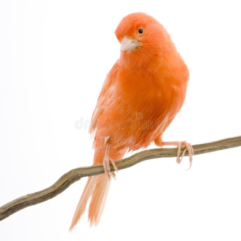 金丝雀其栖息处红色 库存照片