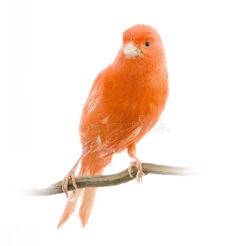 金丝雀其栖息处红色 免版税库存图片