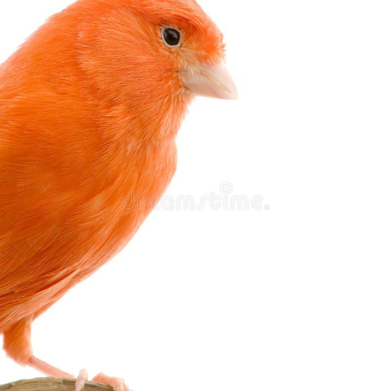 金丝雀其栖息处红色 免版税库存照片