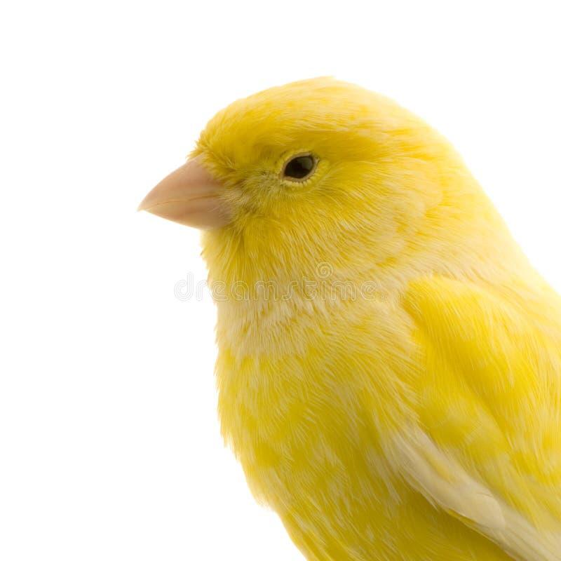 金丝雀其栖息处黄色 免版税库存照片