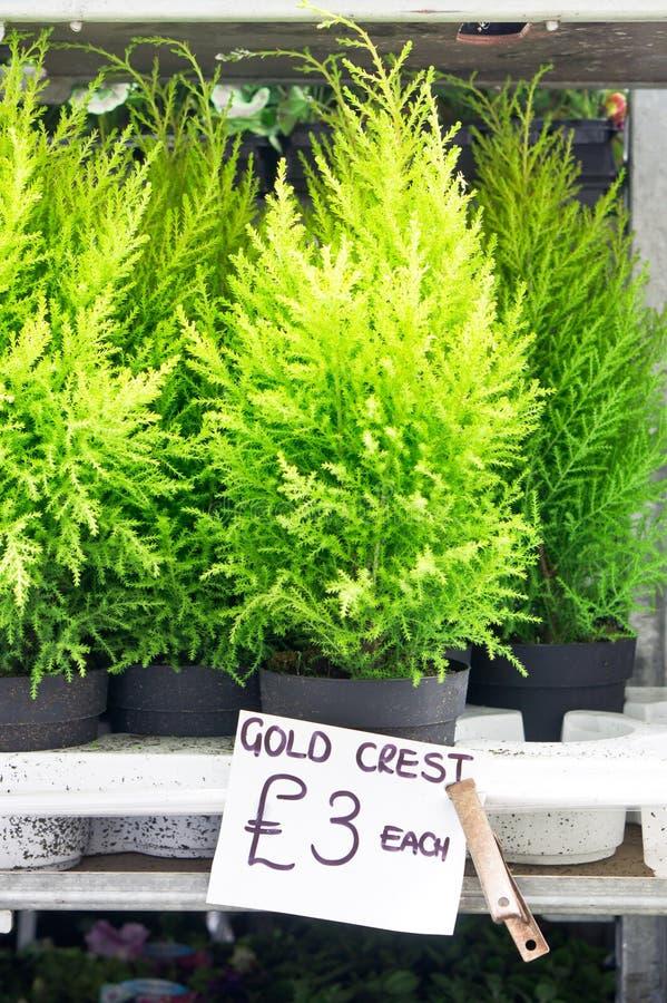 金冠植物 免版税库存照片