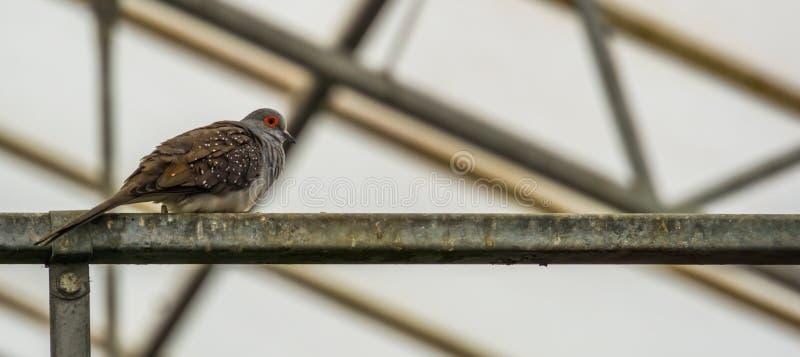 金刚石在从边的特写镜头,热带鸟舍宠物,从澳大利亚的小鸽子潜水 免版税库存图片