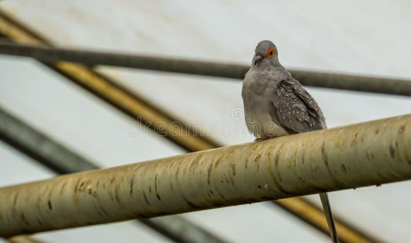 金刚石潜水坐鸟舍,从澳大利亚的热带宠物,小长尾的鸽子 库存图片