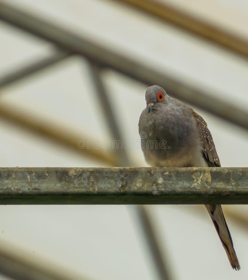 金刚石鸠的画象坐一条金属射线在鸟舍,从澳大利亚的小热带鸽子 库存图片
