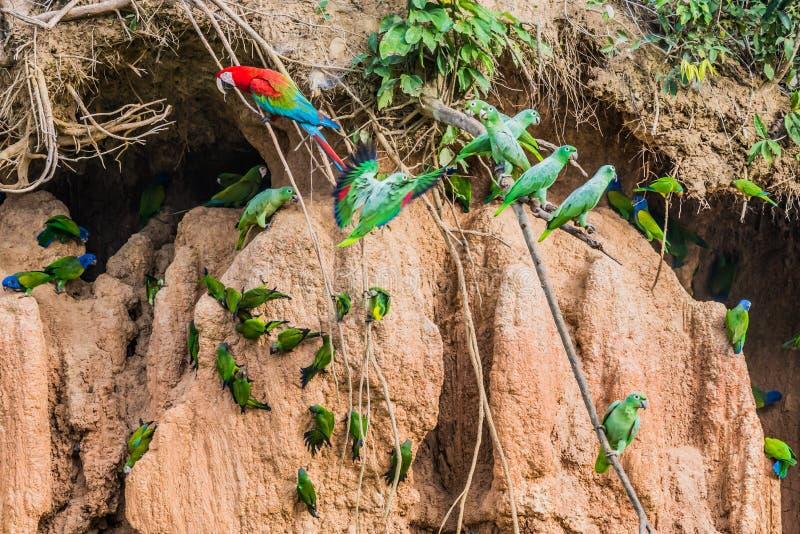 金刚鹦鹉和鹦鹉在黏土在秘鲁亚马逊密林舔在 免版税库存照片