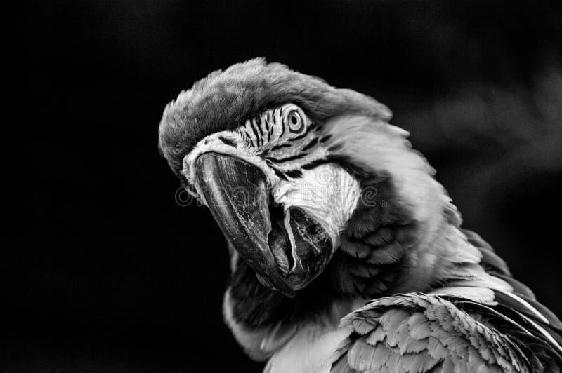 金刚鹦鹉鹦鹉脸面护理在黑白关闭  免版税图库摄影