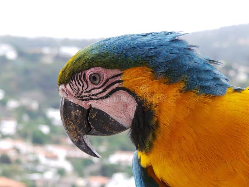 金刚鹦鹉Ara异乎寻常arauna的鸟 库存照片