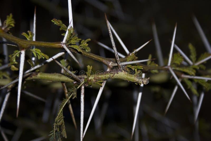 金合欢刺结构树 图库摄影