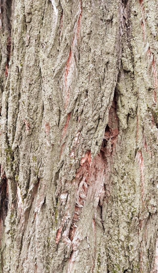金合欢树皮纹理 免版税库存照片