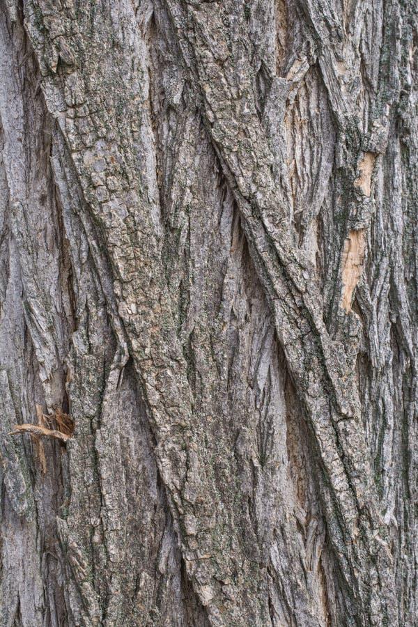 金合欢树皮 免版税库存图片