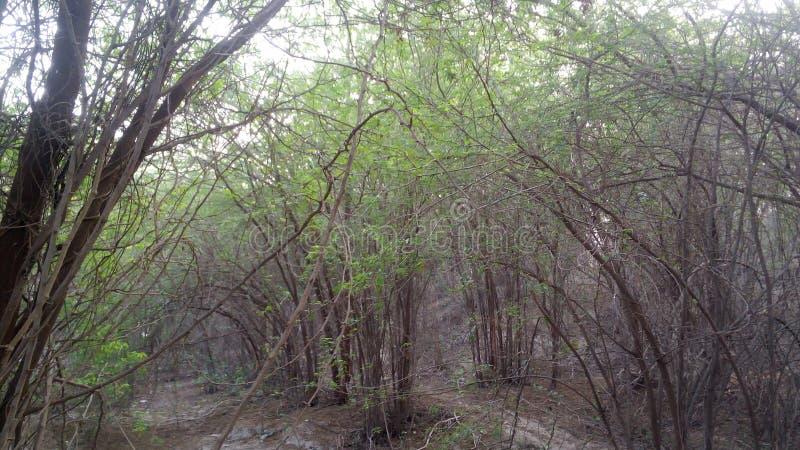 金合欢树 库存图片