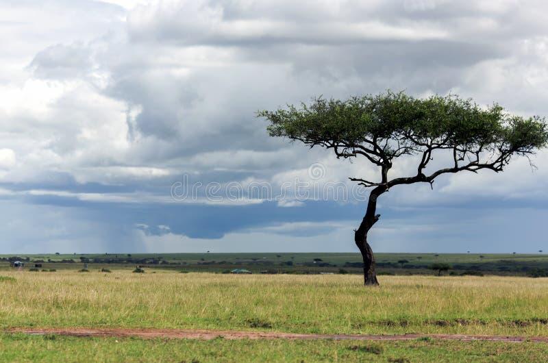 类金合欢的偏僻的树在大草原的 库存图片