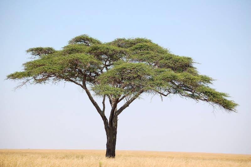 金合欢结构树 免版税库存照片