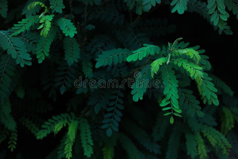 金合欢绿色叶子在阳光下 免版税库存照片