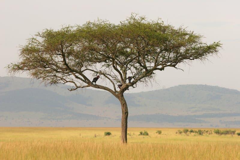 金合欢肯尼亚偏僻的mara马塞人结构树 库存图片