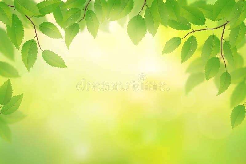 金合欢背景绿色叶子 向量例证
