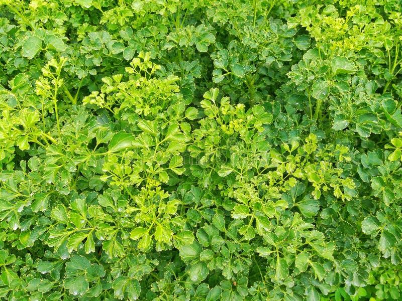 金合欢背景绿色叶子 免版税库存图片