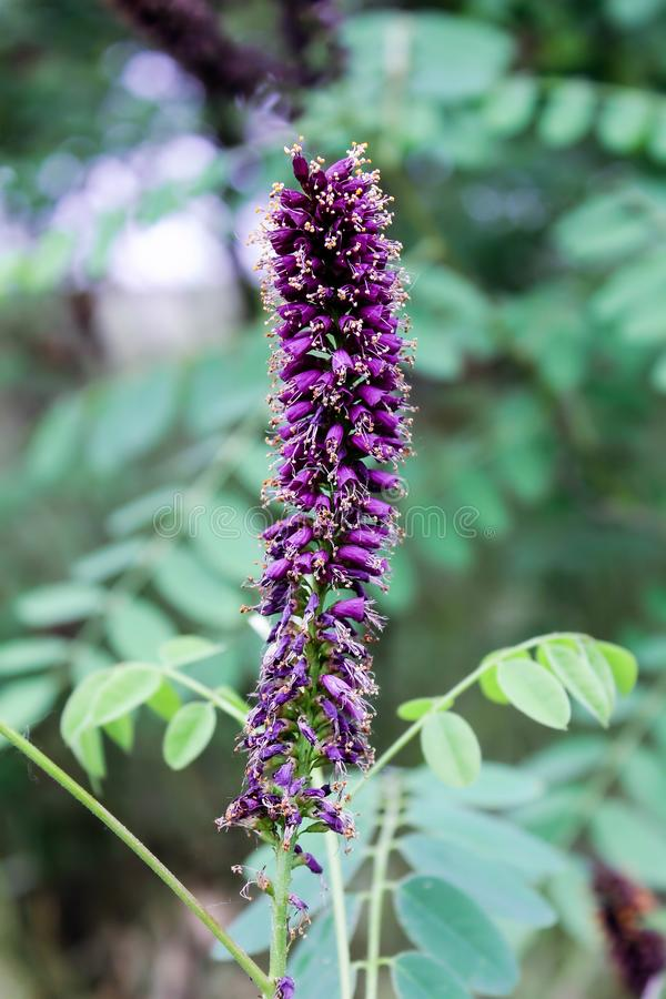 金合欢花 紫罗兰色花 库存图片
