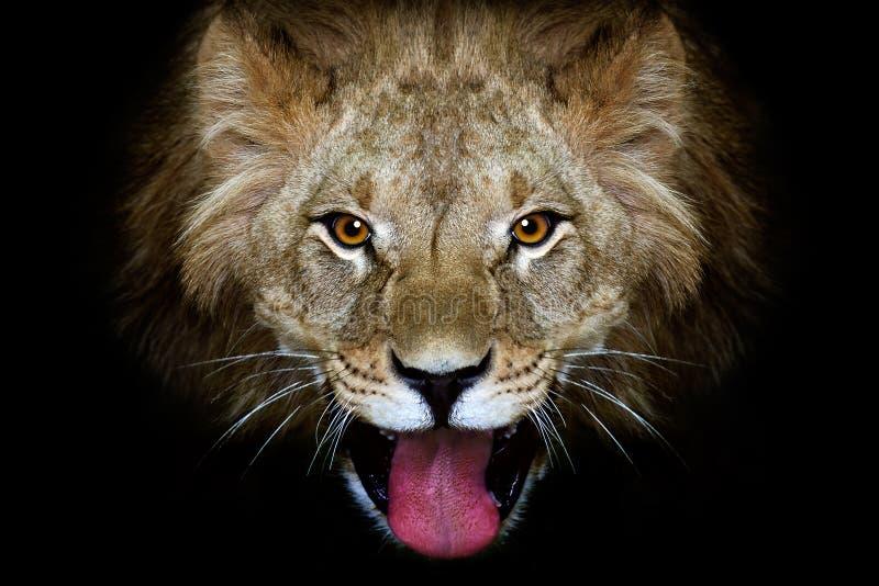 金合欢隐藏狮子偏僻的午间纵向树荫星期日 免版税库存照片
