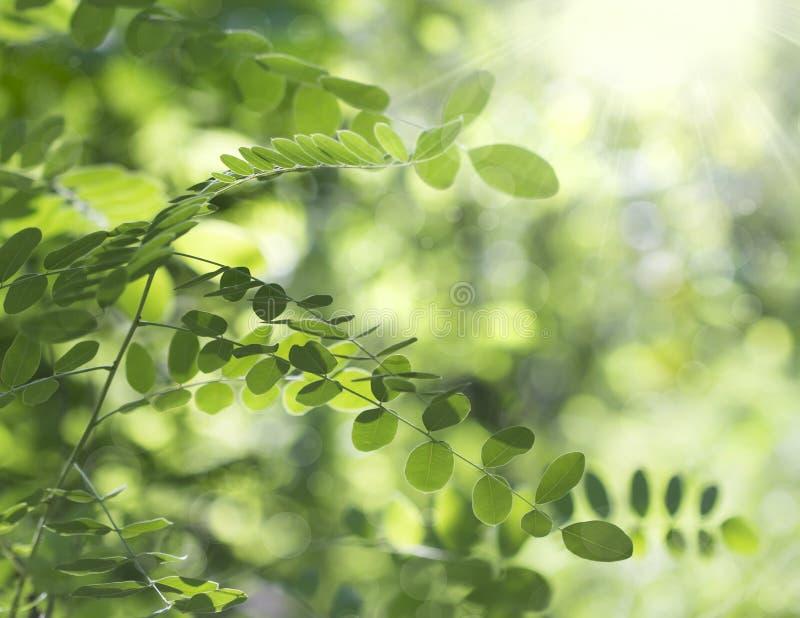 金合欢绿色叶子  免版税图库摄影