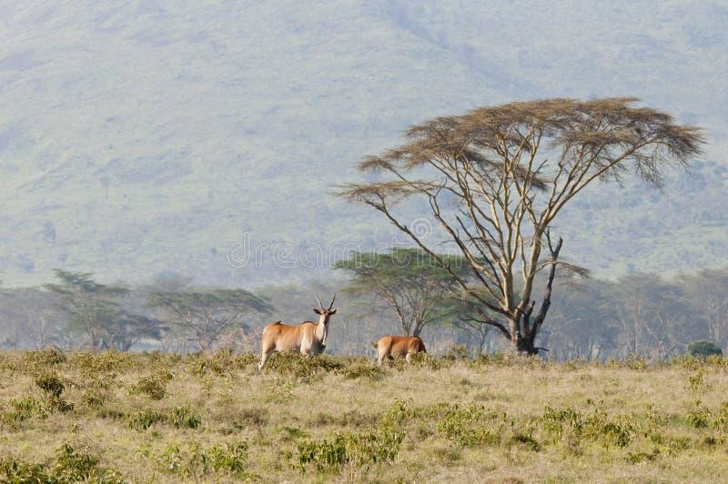 金合欢eland肯尼亚nakuru 库存照片