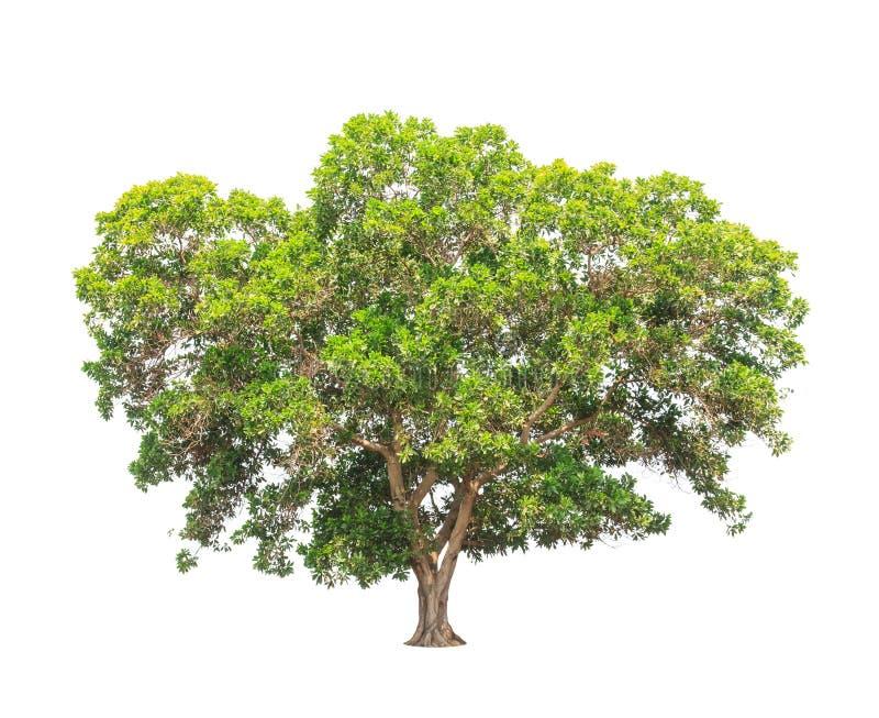 金合欢mangium,热带树在泰国 图库摄影
