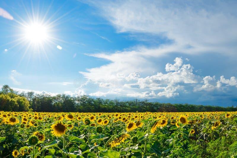 金向日葵的大领域在明亮的太阳和蓝天下的 免版税库存图片