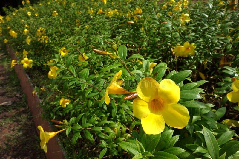 金喇叭、黄蔓cathartica、喇叭藤和黄色黄蔓 库存照片
