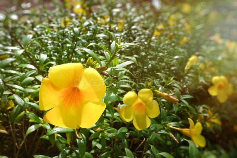 金喇叭、黄蔓cathartica、喇叭藤和黄色黄蔓 库存图片
