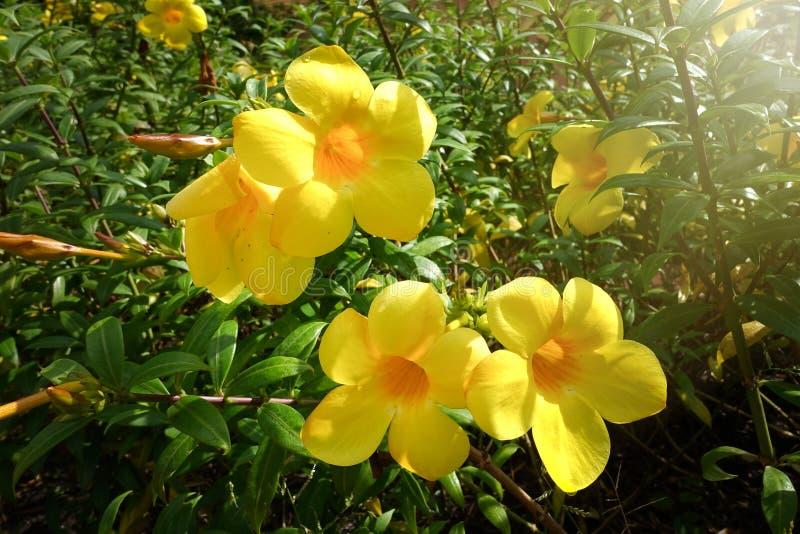 金喇叭、黄蔓cathartica、喇叭藤和黄色黄蔓 免版税图库摄影