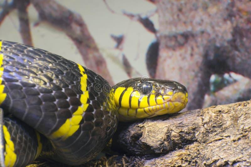 金圈状的猫蛇或美洲红树蛇(Boiga dendrophila) 免版税库存图片