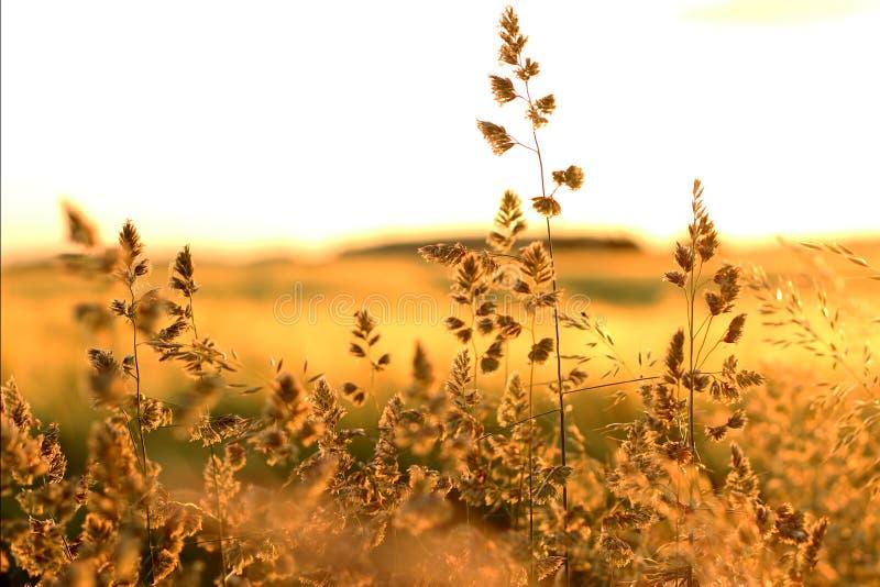 金在日落的燕麦秸杆 免版税图库摄影