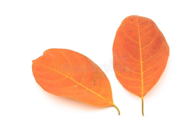 金子两片干燥叶子在白色背景的 免版税库存图片