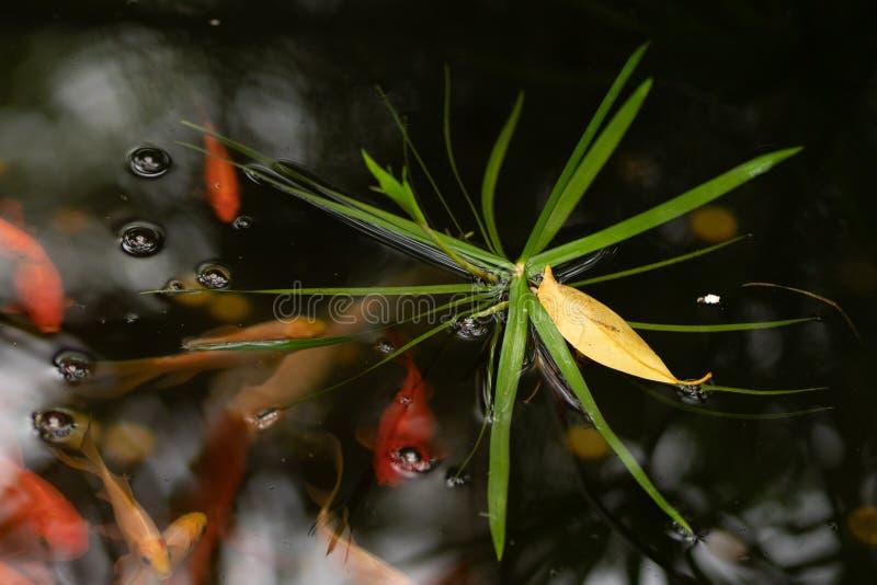 金子和红色鱼在有水圈子的池塘 库存图片
