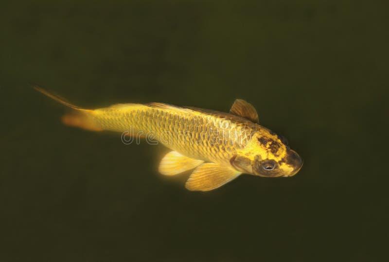 金子色的koi鲤鱼在黑暗的水中 图库摄影
