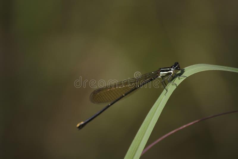 金尾巴蜻蜓allocnemis leucosticta在草刀片弯栖息 免版税图库摄影