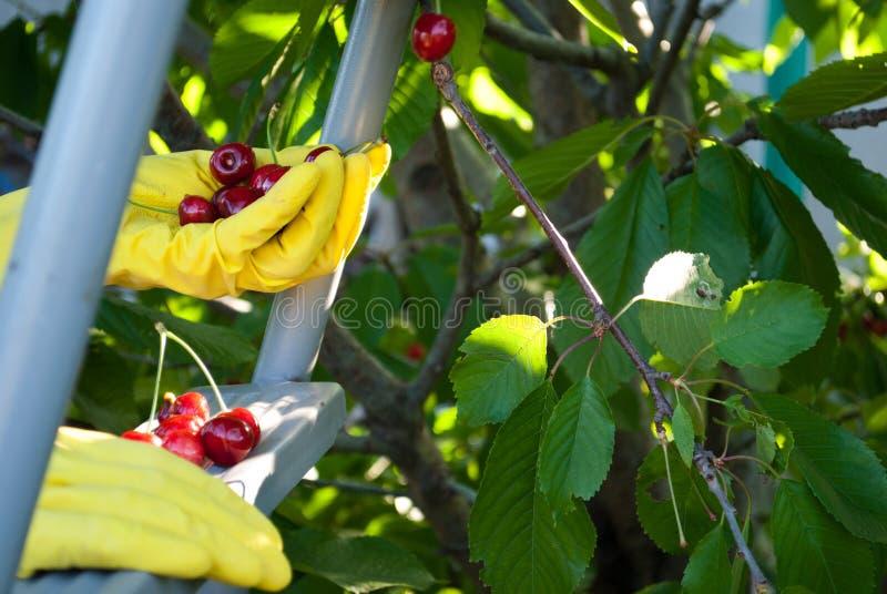 金属梯子活梯步握在黄色橡胶手套,春天收获工作,树成熟红色莓果的手一个甜樱桃 免版税图库摄影